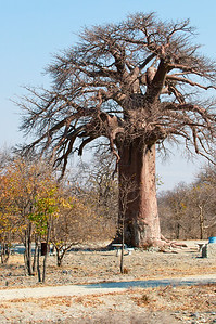 Baobab tree at a rest stop