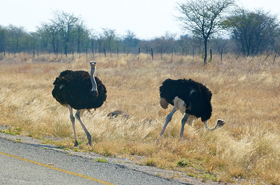 More ostriches