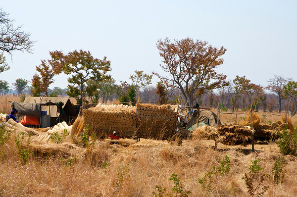 Selling bundles of thatch along the roadside that is used for roofs.