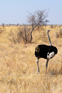 Ostriches along the road