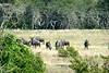 Blue Wildebeest - Pumba Game Reserve