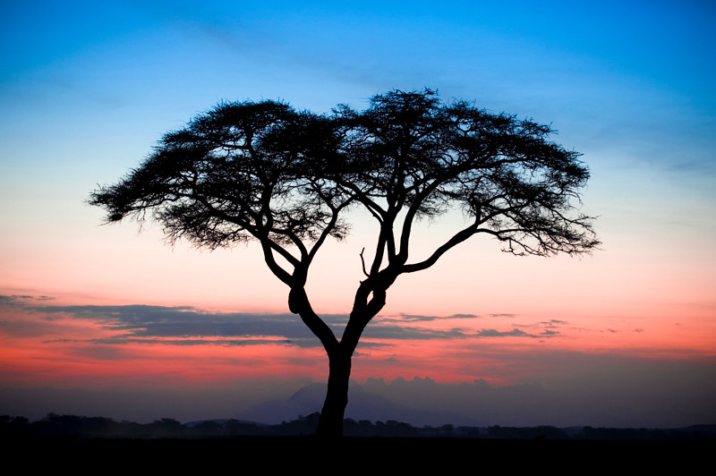 Sunset Acacia Tree