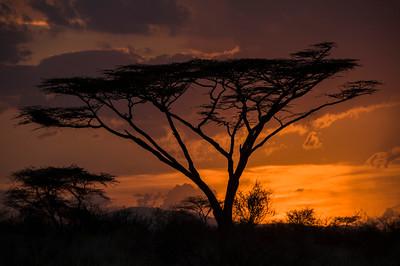 Sunset Acacia Tree