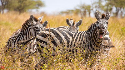 If Zebras could talk...