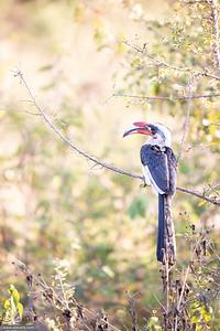 Von der Decken's hornbill - male