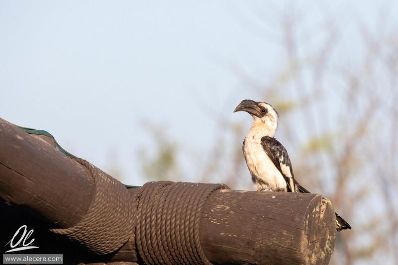 Von der Decken's hornbill -female