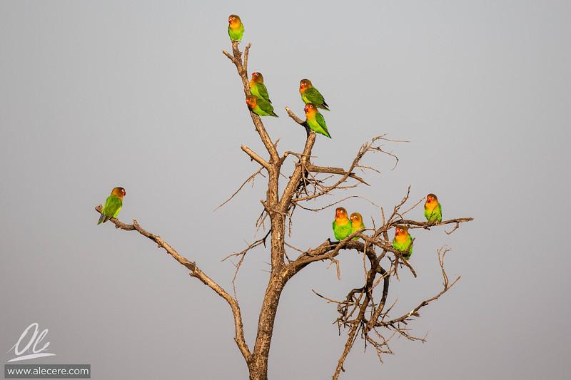 A pandemonium of Fischer's lovebirds