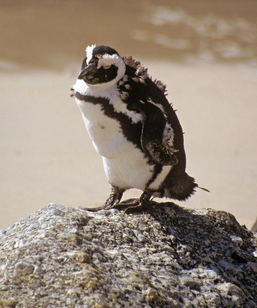 Molting Penguin. Capetown. Boulder beach