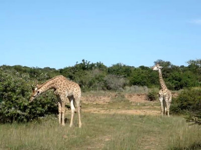 giraffe_7