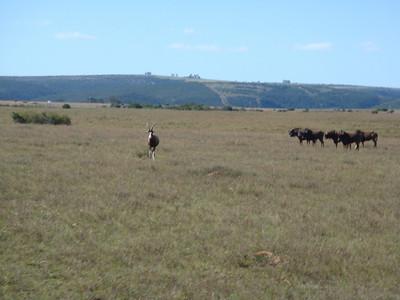 wildebeest_3