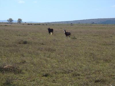 wildebeest_4