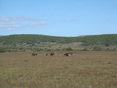 wildebeest_1