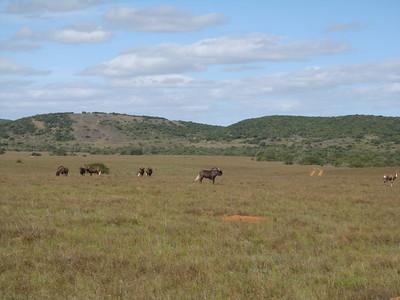 wildebeest_2