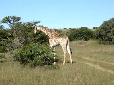 giraffe_8