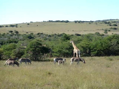 giraffe_10