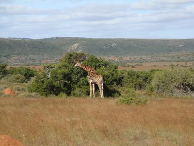 giraffe_02