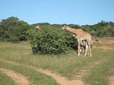 giraffe_5