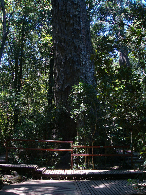 Tsitsikamma Big Tree