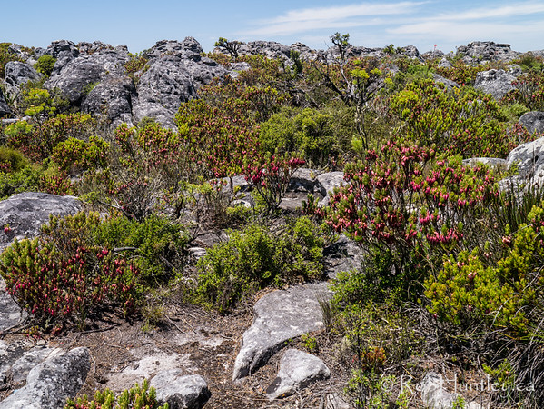 Rare fynbos vegetation is found on Table Mountain.