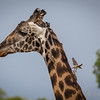 Giraffe and Red-Billed Oxpeckers