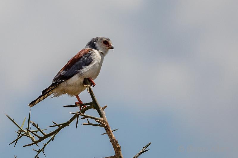 Pigmy Falcon