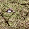 White-Headed Buffalo Weaver in Flight