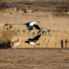 Egyptian Goose in Flight