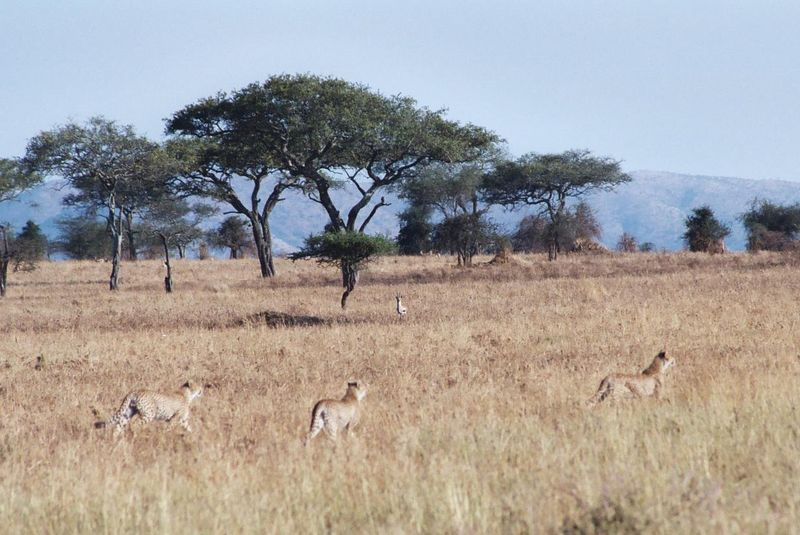 Serengeti NP - On the Hunt...The Tommie In the Background is Super Alert.