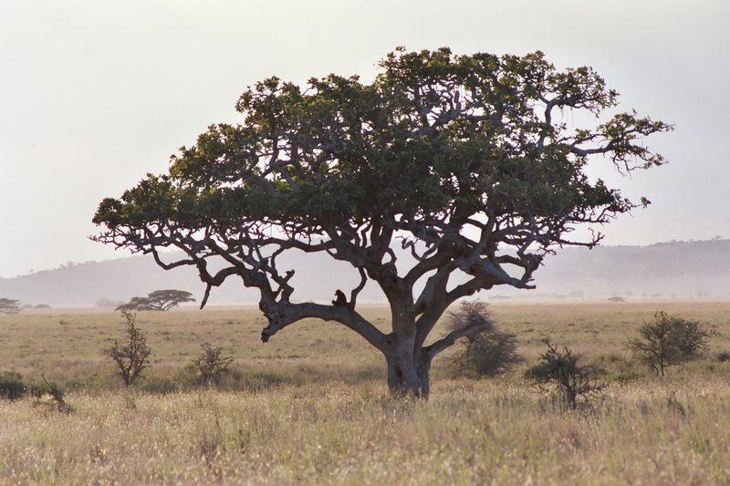 Serengeti NP - Lone Monkey Enjoys a Serengeti Evening