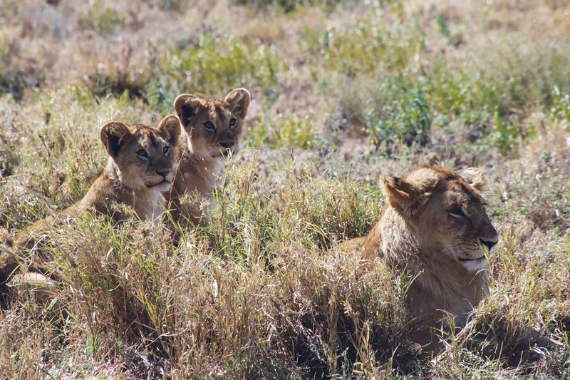 Serengeti NP - Young Male and Cubs