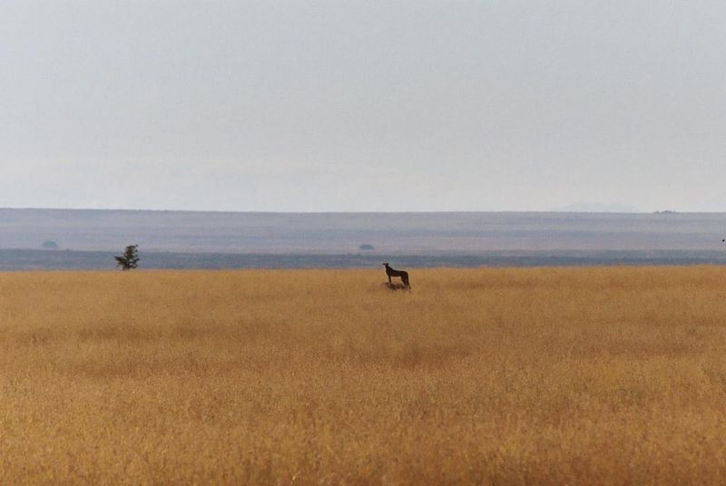 Serengeti NP - On First Morning Game Drive, We Spot a Cheetah. She Hunts and Kills a Tommie.