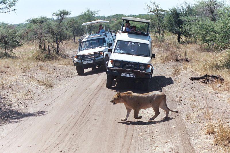 Serengeti NP - Will She Hunt?