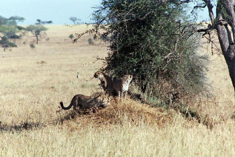 Serengeti NP - Three Younger Cheetahs Were Nearby.