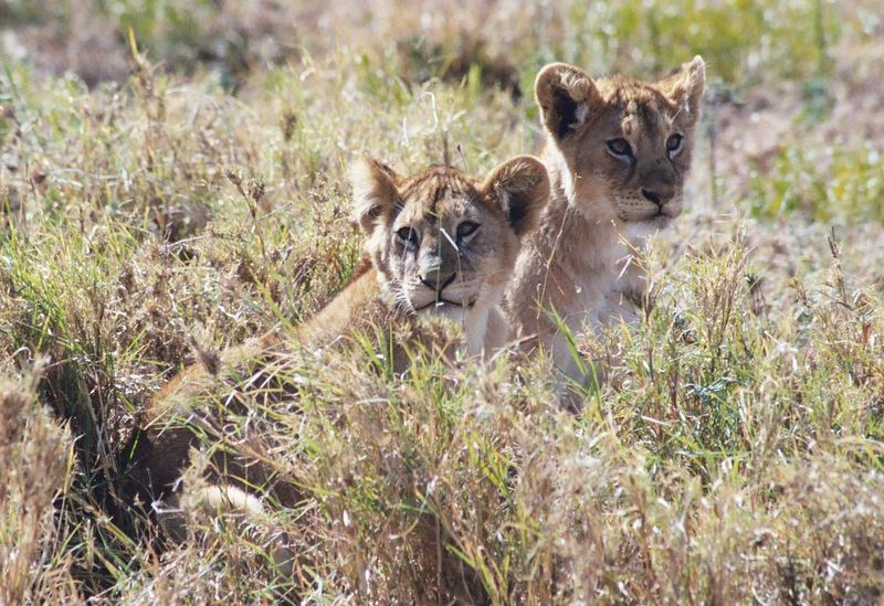 Serengeti NP - Cubs