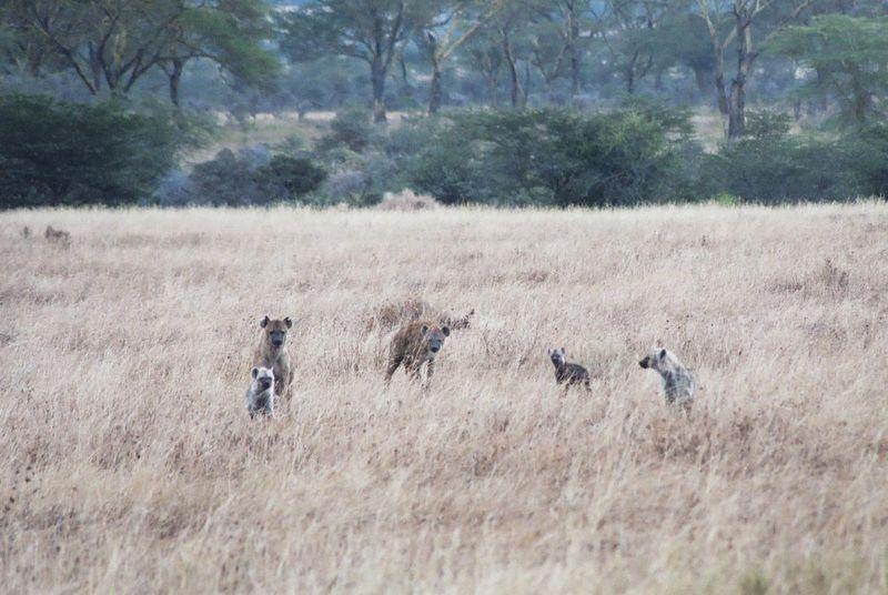 Serengeti NP - Hyena Family