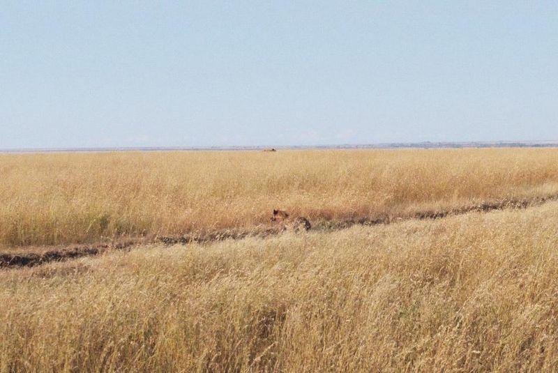 Serengeti NP - A Hyena Heard the Ruckus and Moved In.