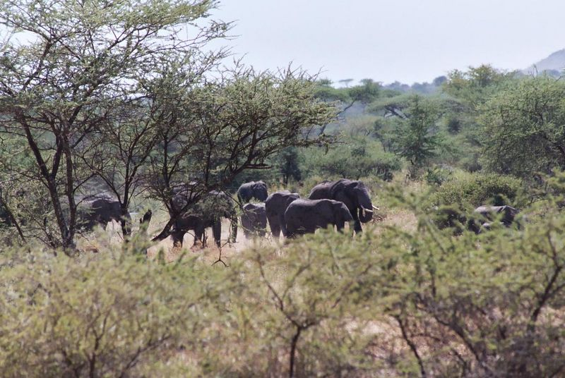 """Serengeti NP - Elephants! Our Guide Said, """"Watch What Happens!"""""""