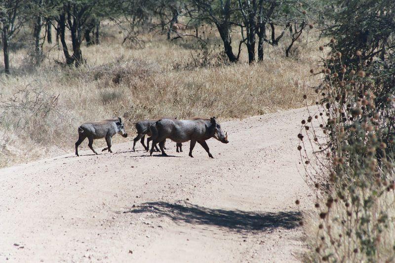 Serengeti NP - Warthogs