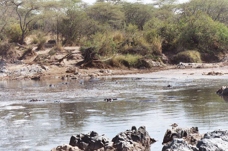 Serengeti NP - Pool With Hippos and Crocodiles