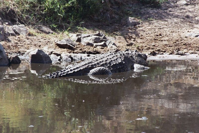 Serengeti NP - Croc