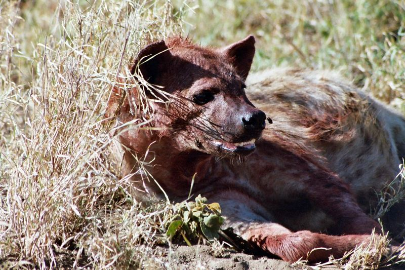 Serengeti NP - This Hyena Obviously Enjoyed the Fruits of the Cheetah's Successful Hunt