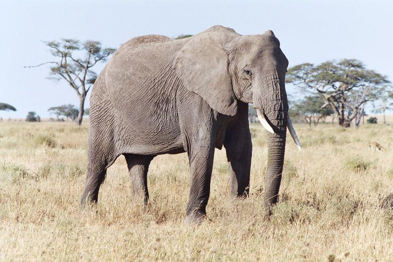 Serengeti NP - Matriarch