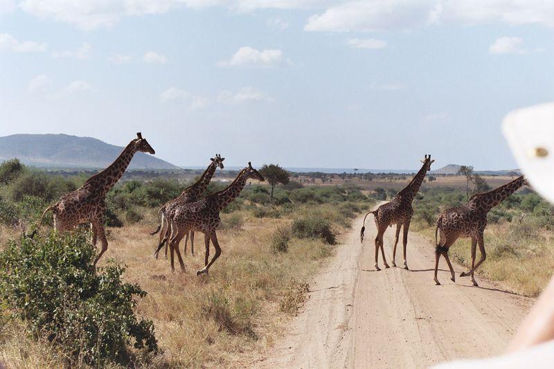 Serengeti NP - Giraffe Herd
