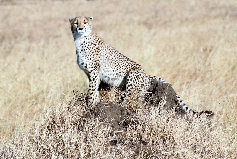 Serengeti NP - Cheetah Lookout