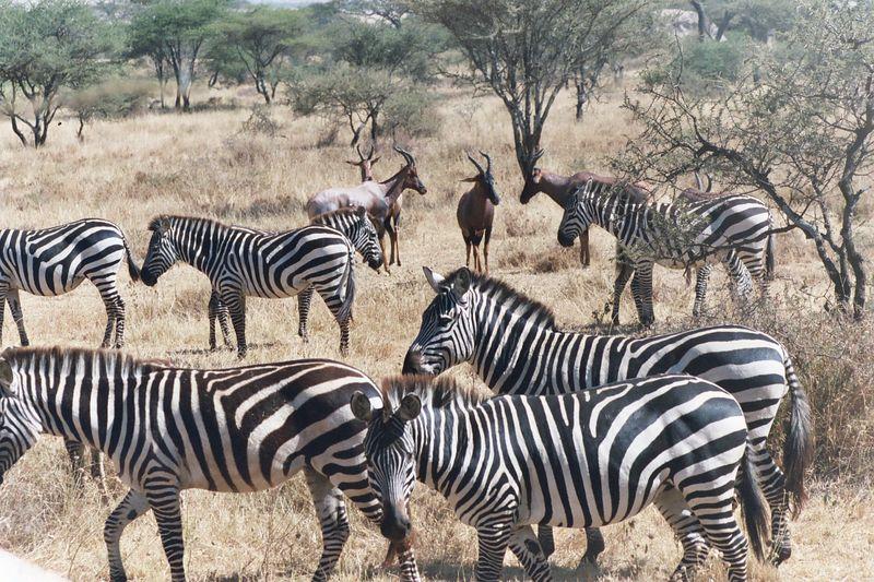Serengeti NP - Zebras & Topis
