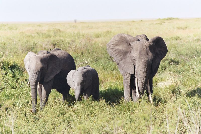 Serengeti NP - Elephant Greeting Party
