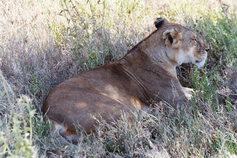 Serengeti NP - Lioness At Rest