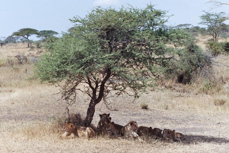 Serengeti NP - How Many Lions Can You Get Under a Bush?