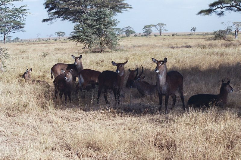 Serengeti NP - Waterbucks