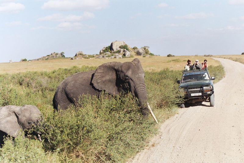 Serengeti NP - Long-Tusker Crosses the Road (Kopje in the Background)